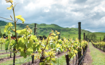 Sacred Hill vineyard