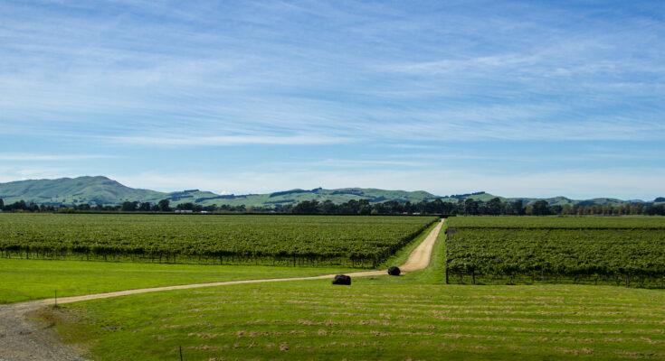 Matahiwi vineyards