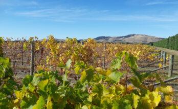Waipara vineyard