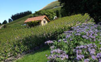 Bell Hill vineyard